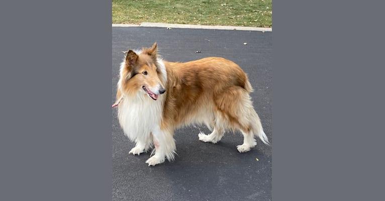 Photo of Sam, a Collie  in Bensenville, Illinois, USA