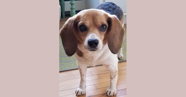 Photo of Libby, a Beagle  in St Paul, Minnesota, USA