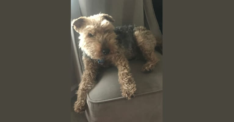 Photo of Teddy Bear, a Welsh Terrier  in Washington, District of Columbia, USA