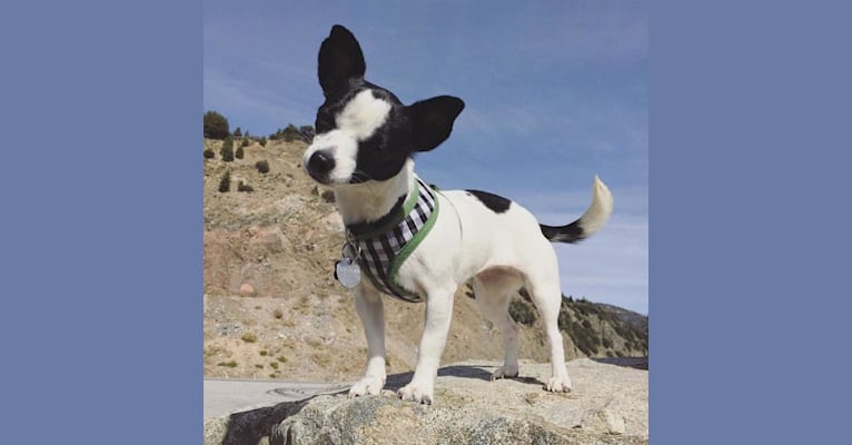 Photo of Olive, a Chihuahua, Rat Terrier, Lhasa Apso, and Poodle (Small) mix in Los Angeles, California, USA