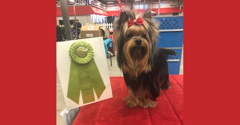 Photo of Tito, a Yorkshire Terrier  in Elkhart, Indiana, USA