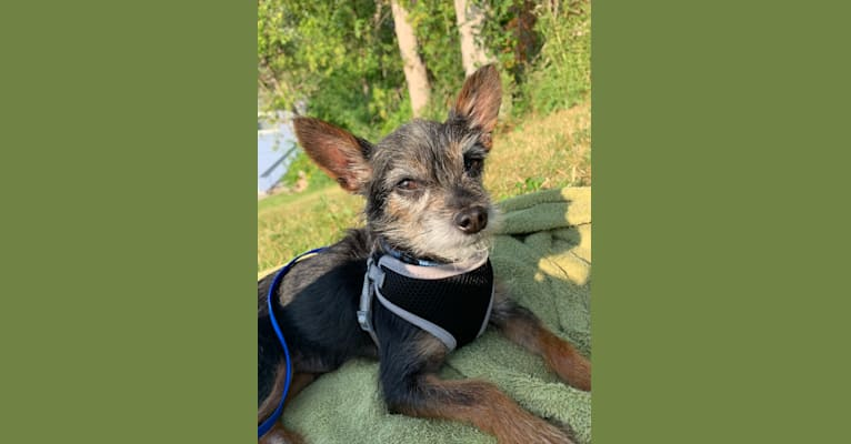 Photo of Alfred, a Yorkshire Terrier, Chihuahua, and Mixed mix in Toronto, Ontario, Canada
