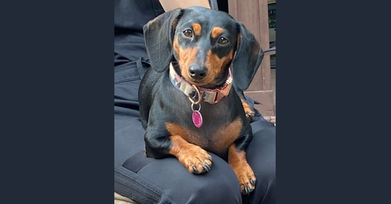 Photo of Vienna, a Dachshund  in Tulsa, OK, USA
