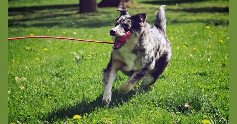 Photo of Atlas, a German Shepherd Dog, Labrador Retriever, Australian Shepherd, and Australian Cattle Dog mix in Washington, USA