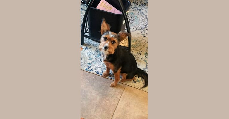 Photo of Callie Raye, a Yorkshire Terrier, Australian Cattle Dog, and Mixed mix in Fort Worth, Texas, USA