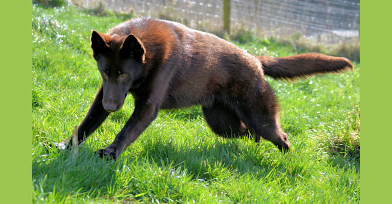 Photo of Nyx, a German Shepherd Dog