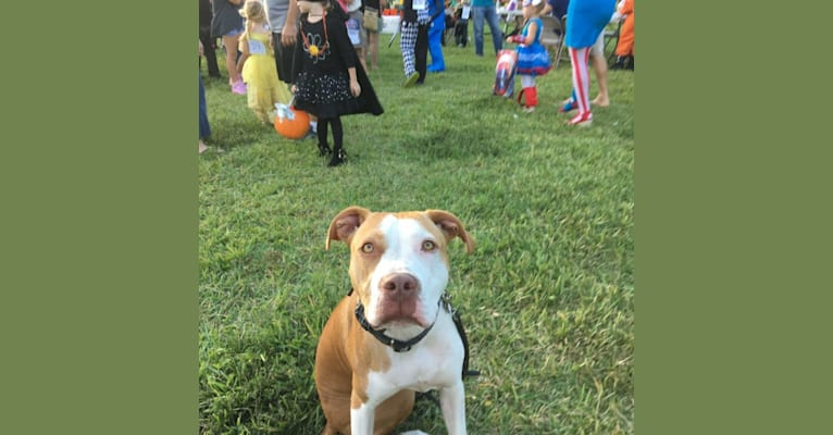 Photo of Ranger, a Staffordshire Terrier mix in Charlestown, Indiana, USA