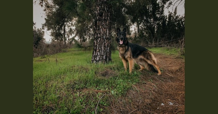 Photo of Nova, a German Shepherd Dog  in La Verne, California, USA