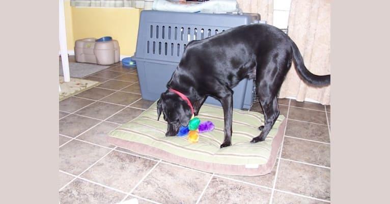 Photo of Ebon, a Labrador Retriever