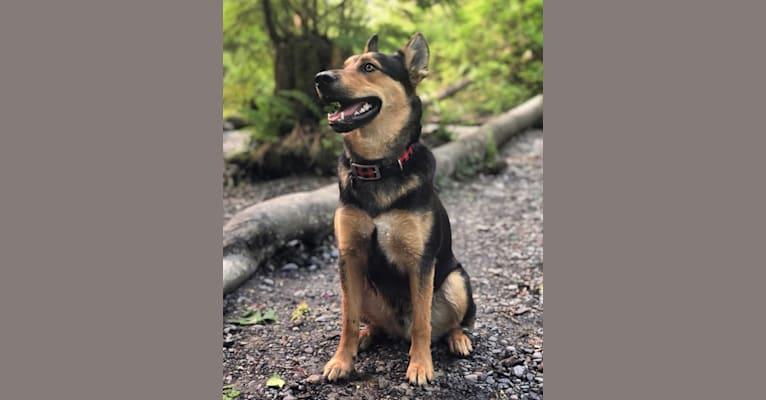 Photo of Jasper, a Siberian Husky, German Shepherd Dog, and Australian Cattle Dog mix in Texas, USA