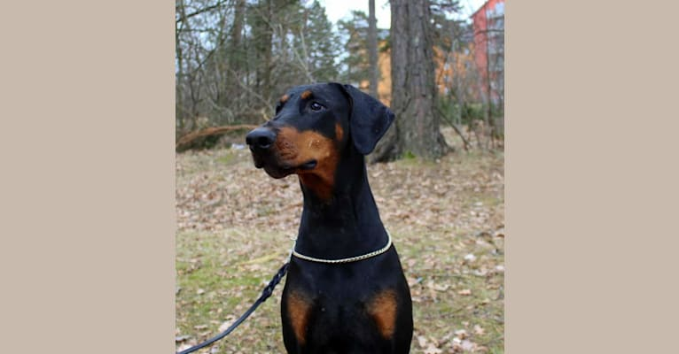 Photo of Tyyne, a Doberman Pinscher  in Italia