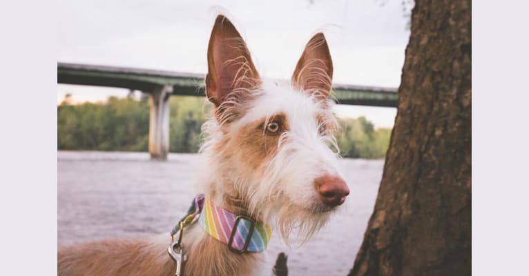 "Photo of Nevaeh's Bedheaded Beauty ""Azula"", an Ibizan Hound  in Oklahoma, USA"