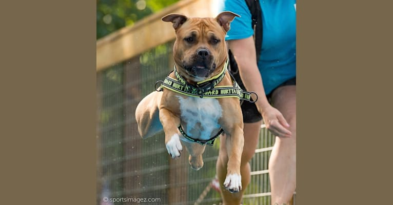 Photo of Chip, an American Staffordshire Terrier  in Newman Lake, WA, USA