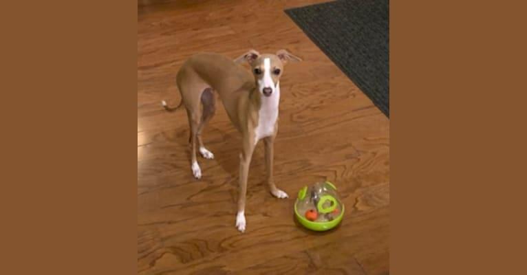 Photo of Nik, an Italian Greyhound  in Okaloosa Island, FL, USA