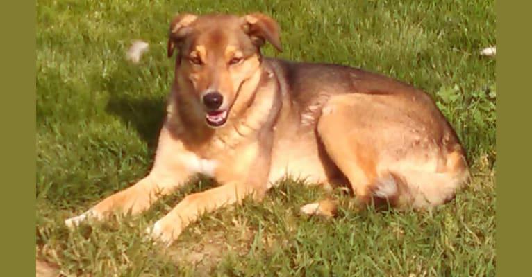 Photo of Bo, an Australian Cattle Dog, Border Collie, Alaskan Malamute, German Shepherd Dog, and Mixed mix in Yakima, Washington, USA