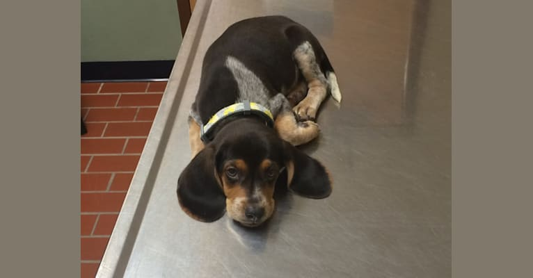 Photo of Maude, a Beagle and Treeing Walker Coonhound mix in O'Fallon, Illinois, USA