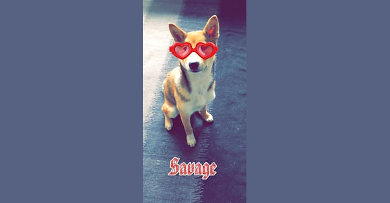 Photo of Moana, a Shiba Inu  in Los Angeles, California, USA