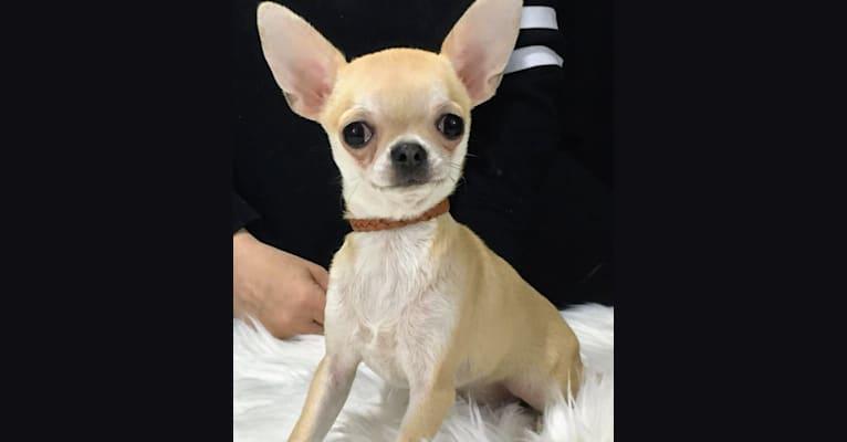 Photo of Nikki, a Chihuahua