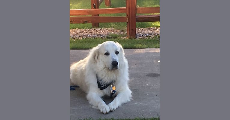 Photo of Cooper, a Great Pyrenees  in Tennessee, USA