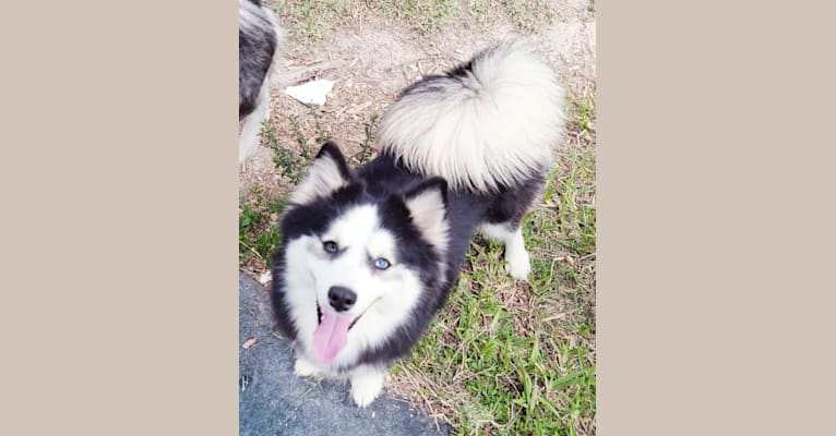 Photo of Bella, a Pomsky  in Florida, USA