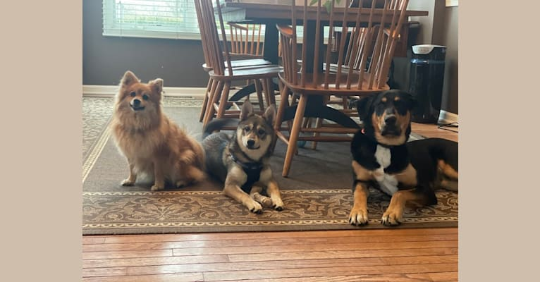 Photo of Stella, an Alaskan Klee Kai, Shiba Inu, and American Eskimo Dog mix in Lamar, Colorado, USA