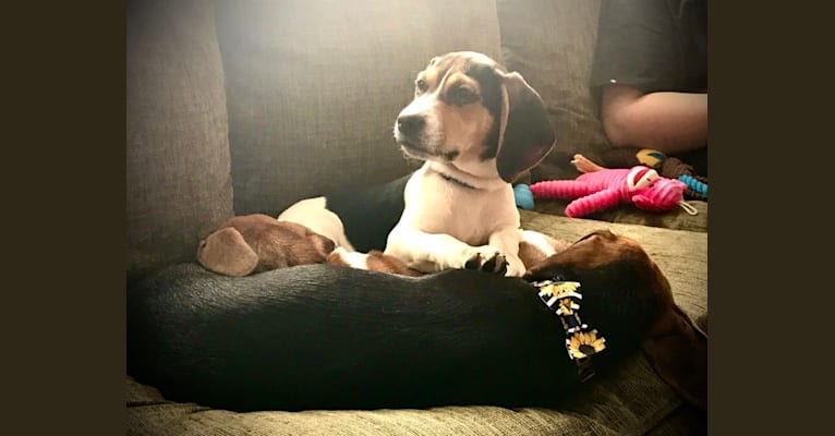 Photo of Bandit, a Treeing Walker Coonhound, Beagle, Dachshund, and American English Coonhound mix in Bandy, Virginia, USA