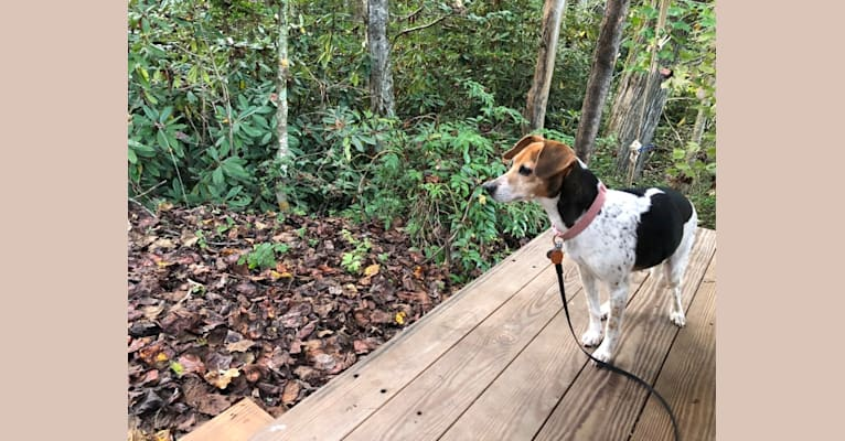 Photo of Lola, a Rat Terrier and Beagle mix