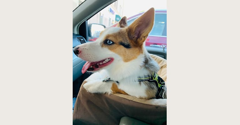 Photo of Milo, a Pembroke Welsh Corgi and Australian Shepherd mix in Bolingbrook, Illinois, USA