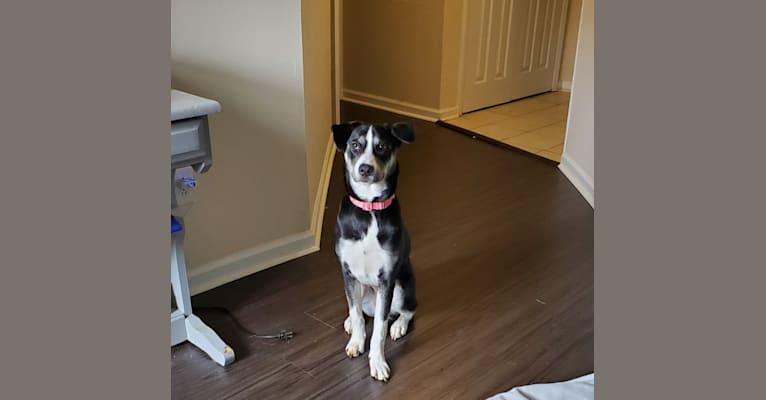 Photo of Eleanor, a Siberian Husky, Labrador Retriever, German Shepherd Dog, and Mixed mix in Charlotte, North Carolina, USA