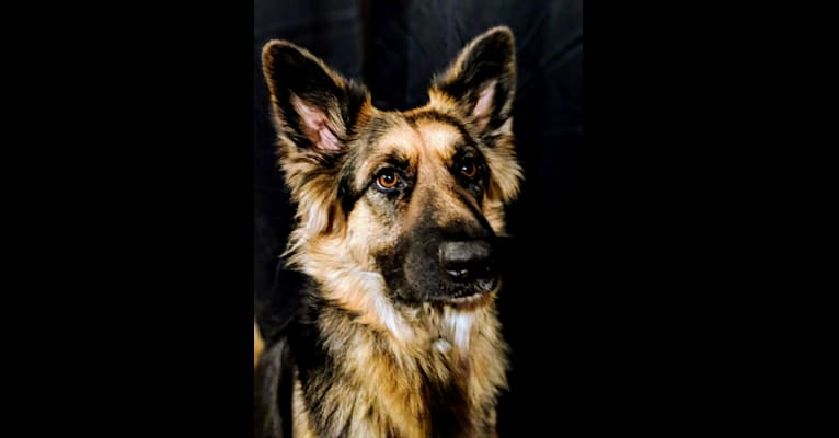 Photo of Riley, a German Shepherd Dog