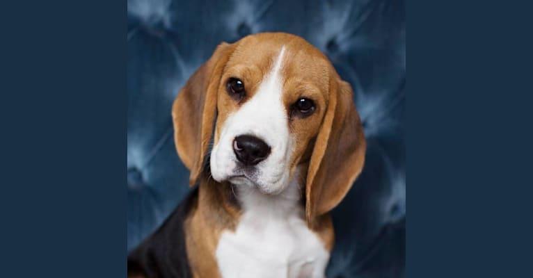 Photo of Emmy, a Beagle  in Woodinville, Washington, USA