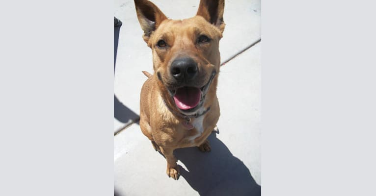 Photo of Puppy, an American Pit Bull Terrier and Australian Cattle Dog mix in North Las Vegas, Nevada, USA
