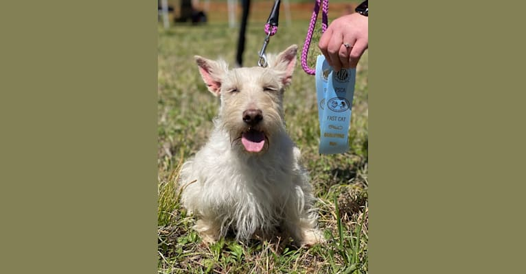 Photo of Ada Rose, a Scottish Terrier  in Cookeville, Tennessee, USA