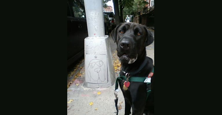 Photo of Smokey, a Chinese Shar-Pei, Rottweiler, Doberman Pinscher, and Boxer mix in New York, USA