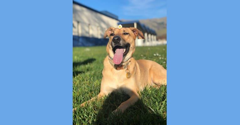 Photo of Momo, a German Shepherd Dog, Labrador Retriever, Golden Retriever, and Mixed mix in San Diego, California, USA