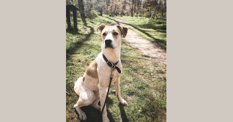 Photo of Zoe, an American Pit Bull Terrier and Siberian Husky mix in Asheville, North Carolina, USA