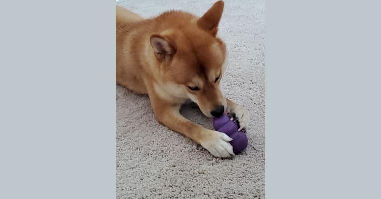 Photo of Noko, a Shiba Inu  in Missouri, USA