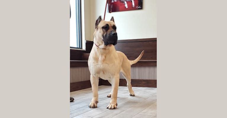Photo of Derque de Eterna Primavera, a Perro de Presa Canario  in Spain