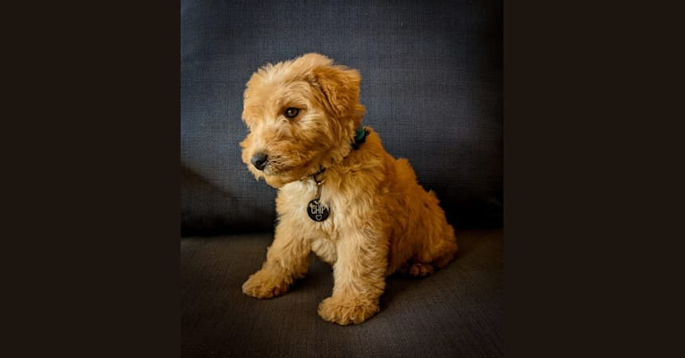 Photo of Chip, a Lakeland Terrier  in Houston, TX, USA