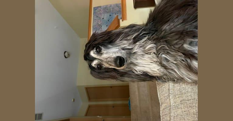 Photo of Rian, an Afghan Hound