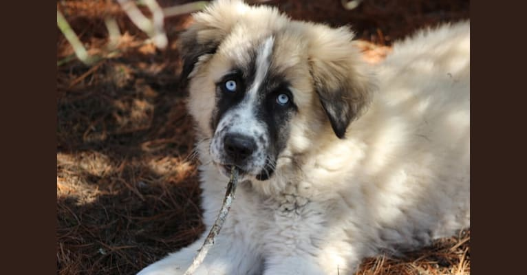 Photo of Charley, a Great Pyrenees and Maremma Sheepdog mix in Wellston, Ohio, USA