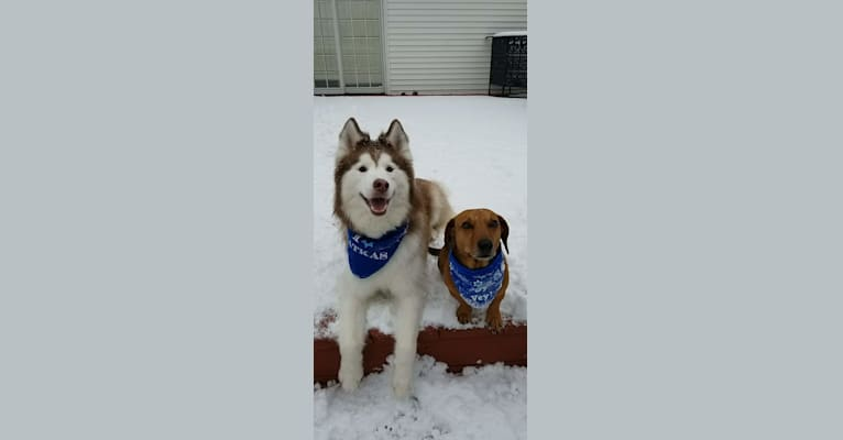 Photo of Loki, a Siberian Husky  in Millstadt, IL, USA