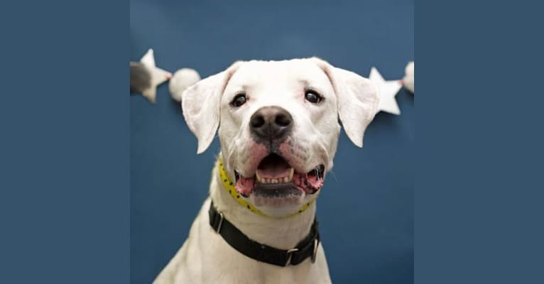 Photo of Freya, a Dogo Argentino  in Hartly, Delaware, USA