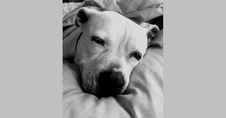 Photo of The Pearl, an American Pit Bull Terrier and American Staffordshire Terrier mix in Ohio, USA