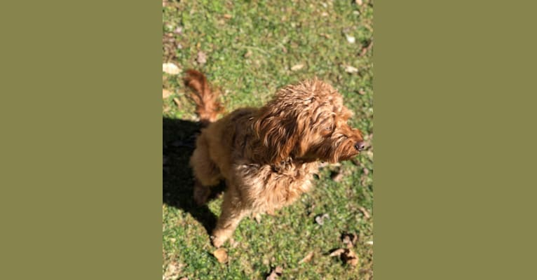 Photo of Daisy Christine, a Goldendoodle  in Doodle Country Mini Doodles, E County Road 1000 N, Frankfort, IN, USA