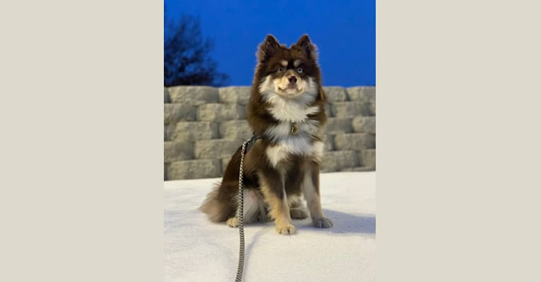 Photo of Murphy, a Pomsky  in Minneapolis, Minnesota, USA