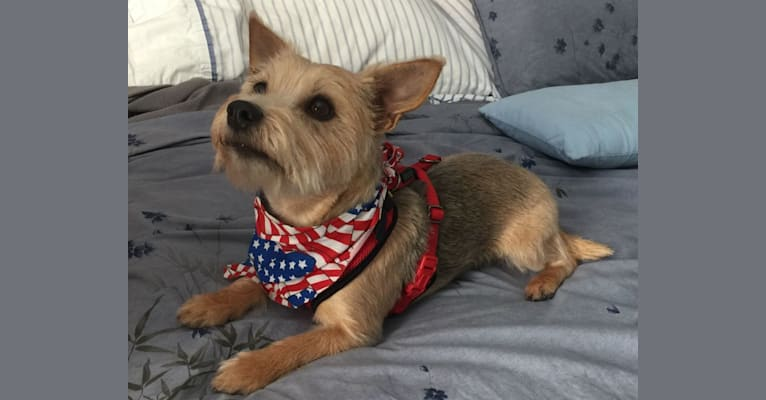 Photo of Daisy Scout, a Miniature Pinscher, Chihuahua, and Russell-type Terrier mix in Laurel, Mississippi, USA