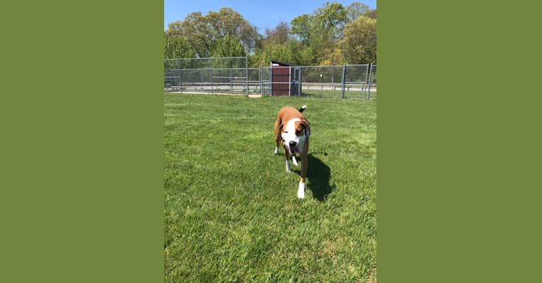 Photo of Wally Bear Roscoe Troublemaker Franklin, a Treeing Walker Coonhound and American Pit Bull Terrier mix in Tennessee, USA