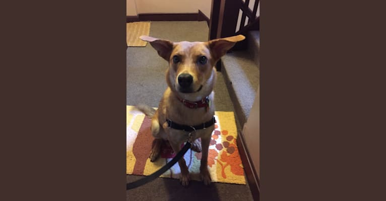 Photo of Tesla, a German Shepherd Dog, American Foxhound, American Pit Bull Terrier, Labrador Retriever, and Alaskan Malamute mix in Arkansas, USA
