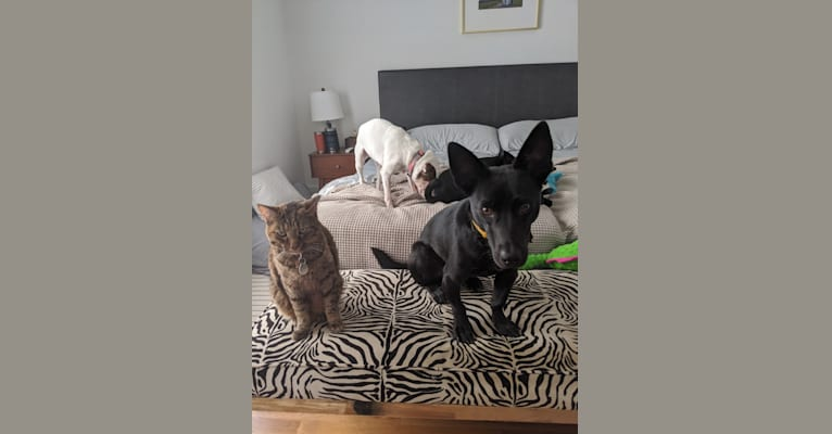 Photo of Fred, an American Pit Bull Terrier, Bloodhound, Chow Chow, Collie, and Mixed mix in Raleigh, North Carolina, USA